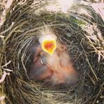 Black bird nest #birding #birdingfun #birdinginnature #birdinginthewild #birdingphotography #birdingtours #birdwacth…
